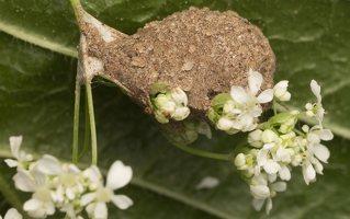 Liocranidae · grumstavoriai 8176