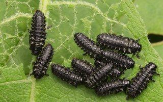 Chrysomelidae larvae · lapgraužio lervos 8178