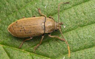 Dascillidae · skiautvabaliai
