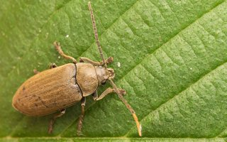 Dascillus cervinus · paprastasis skiautvabalis 8210