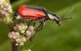 Malachius aeneus · žaliasis pūsliavabalis