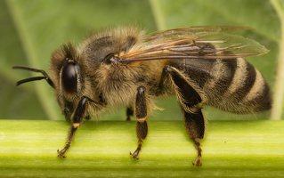 Apis mellifera · naminė bitė