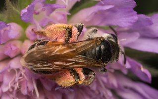 Andrena hattorfiana female · buožaininė smėliabitė ♀ 8237