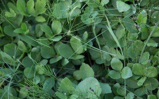 Menyanthes trifoliata · trilapis puplaiškis 8241
