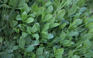 Menyanthes trifoliata · trilapis puplaiškis 8242