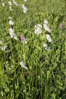 Eriophorum angustifolium · siauralapis švylys 8251