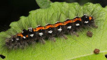 Euproctis similis caterpillar · geltonuodegis verpikas, vikšras 8259