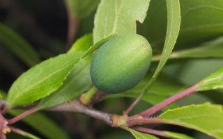 Prunus spinosa · dygioji slyva 8031