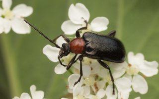 Dinoptera collaris · ąžuolinis žievininkas 8034