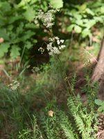 Filipendula vulgaris · pievinė vingiorykštė 8433