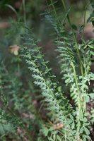 Filipendula vulgaris · pievinė vingiorykštė 8434