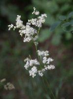 Filipendula vulgaris · pievinė vingiorykštė 8435