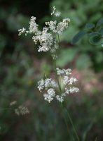 Filipendula vulgaris · pievinė vingiorykštė 8436
