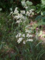 Filipendula vulgaris · pievinė vingiorykštė 8438