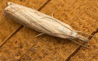 Chrysoteuchia culmella · juostuotasis žolinis ugniukas 8799