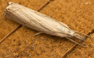 Chrysoteuchia culmella · juostuotasis žolinis ugniukas 8800