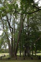 Sirvėtos parkas · Šventos dvarvietės liepų pavėsinė 9098