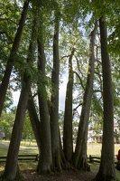 Sirvėtos parkas · Šventos dvarvietės liepų pavėsinė 9114
