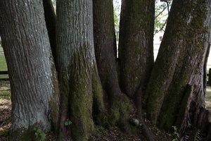 Sirvėtos parkas · Šventos dvarvietės liepų pavėsinė 9116