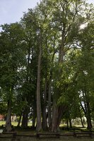 Sirvėtos parkas · Šventos dvarvietės liepų pavėsinė 9126