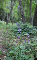 Campanula persicifolia · didžiažiedis katilėlis 9186