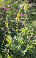 Agrimonia pilosa · stačioji dirvuolė 9291