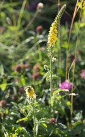 Agrimonia pilosa · stačioji dirvuolė