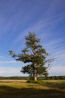 Sirvėtos regioninis parkas · ąžuolas 9311