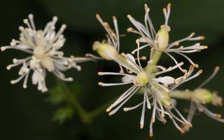 Actaea spicata flowers · varpotoji juodžolė, žiedai 8957