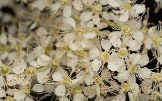 Filipendula vulgaris · pievinė vingiorykštė