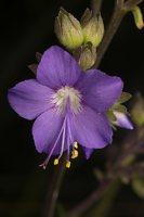 Polemonium caeruleum · mėlynasis palemonas