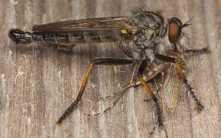 Asilidae · musė plėšrūnė 8915