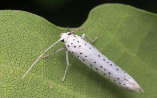 Yponomeuta evonymella · ievinė kandis 8919