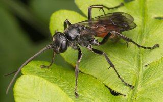 Hymenoptera · plėviasparnis 8929