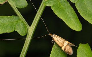 Nemophora degeerella · auksadryžė ilgaūsė makštinė kandis 8936