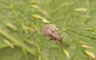 Strophosoma capitatum · šeriuotasis straubliukas 8939