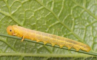 Hymenoptera larva · plėviasparnis, lerva 8940