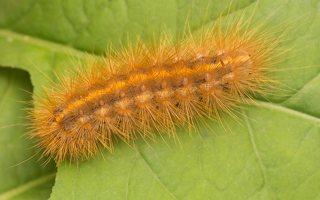 Phragmatobia fuliginosa caterpillar · rudoji meškutė, vikšras 8980