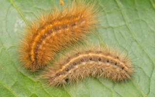 Phragmatobia fuliginosa caterpillar · rudoji meškutė, vikšras 8983
