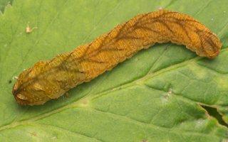 Tenthredo colon larva · pjūklelis, lerva 8987