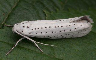 Yponomeuta evonymella · ievinė kandis 8991