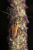 Leptopterna dolabrata male · painioji žolblakė ♂ 9068
