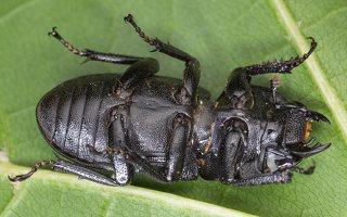 Dorcus parallelipipedus female · platusis elniavabalis ♀ 9350