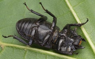 Dorcus parallelipipedus female · platusis elniavabalis ♀ 9351