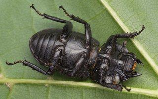 Dorcus parallelipipedus female · platusis elniavabalis ♀ 9352