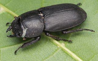 Dorcus parallelipipedus female · platusis elniavabalis ♀ 9353