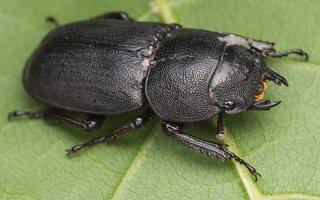Dorcus parallelipipedus female · platusis elniavabalis ♀ 9354