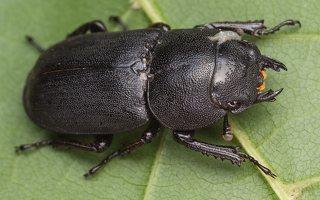 Dorcus parallelipipedus female · platusis elniavabalis ♀ 9355