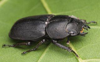Dorcus parallelipipedus female · platusis elniavabalis ♀ 9356