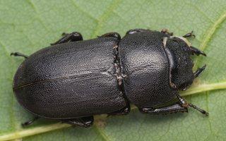Dorcus parallelipipedus female · platusis elniavabalis ♀ 9357